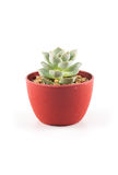 Succulent plant in plant pot Royalty Free Stock Image