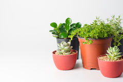 Succulent plant in plant pot Royalty Free Stock Photos