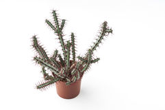 Succulent plant in a plastic pot. Royalty Free Stock Photo