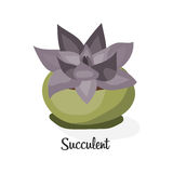 Succulent plant in pot . Flat vector illustration on white background. Decorative home plant with large purple  leaves. Royalty Free Stock Photography