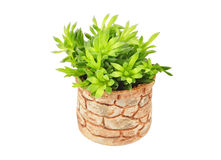 Succulent plant in pot Stock Photo