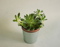 Succulent plant in a pot stock photography