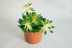 Succulent plant in a pot royalty free stock images