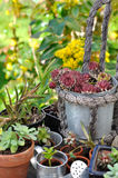 Succulent plant potting Royalty Free Stock Image