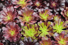 Succulent plant Royalty Free Stock Photography