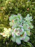 Succulent plant similar to green flowers Royalty Free Stock Photo