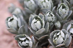 Succulent plant. Some succulent plant under the lens stock photo