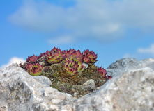 Succulent plant on stone Royalty Free Stock Photos