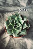 Succulent plant Stone rose Table Top View Stock Photography