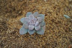 Succulent plant, a plant that stores water in its leaves or stems. Desert plant for decoration Royalty Free Stock Photos