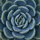 Succulent plant / symmetrical pattern / nature. Royalty Free Stock Photography