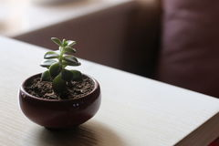 Succulent plant. A succulent plant on the table stock images