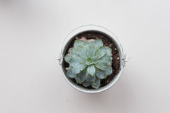 Succulent plant on a white background. Succulent plant in white pot on a white background viewed from above Stock Image