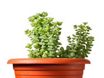 Succulent planted in red pot Stock Images