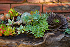 Succulent Planting Royalty Free Stock Photo