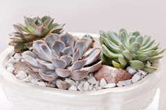 Succulent plants Royalty Free Stock Photos