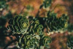 Succulent plants of aeonium spathulatum royalty free stock photo