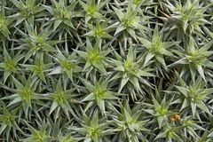 Succulent plants background. Natural full frame detail showing some succulent plants Royalty Free Stock Photo