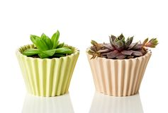 Succulent plants in ceramic pots on white background royalty free stock photography
