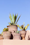 Succulent plants in clay pots Royalty Free Stock Photo