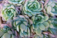 Succulent plants. The close-up of succulent plants royalty free stock photo