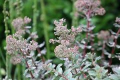 Succulent plants closeup Royalty Free Stock Image