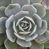 Succulent plants. A cluster of succulent plants showing off their perfect rosette formation stock photos