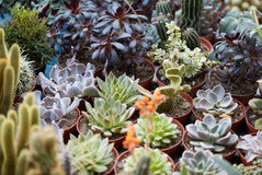Succulent plants collection in small pots Stock Photography