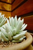 Succulent plants. Cushion plants usually have small thick leaves to minimize water loss, or hairy leaves to reduce transpiration Royalty Free Stock Photos