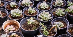 Succulent plants (echeveria) in the nursery greenhouse Stock Image