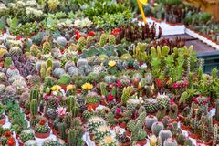 Succulent Plants Exposed To The Market.  Royalty Free Stock Photo