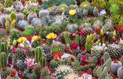 Succulent Plants Exposed To The Market.  Stock Photography