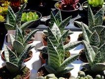 Succulent plants flower. Succulent plants and cactus aloe Stock Photos