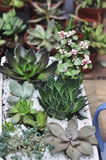 Succulent plants in flowerpot Stock Images