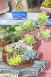Succulent plants. In a garden stock photography