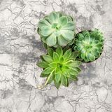 Succulent plants Minimal floral flat lay background. Succulent plants on grey cement background. Minimal floral flat lay Stock Image