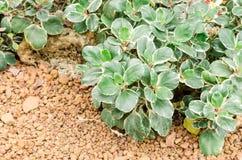 Succulent plants (Kalanchoe blossfeldiana f. variegata) in garden Royalty Free Stock Images