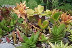 Succulent Plants Landscape. SUCCULENT PLANTS, or succulents. cactus-like type plants that conserve and absolve water efficiently Come in different colors and Stock Photo