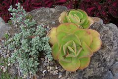 Succulent Plants Landscape. SUCCULENT PLANTS, or succulents. cactus-like type plants that conserve and absolve water efficiently Come in different colors and Stock Photography