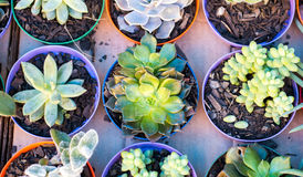 Succulent plants Royalty Free Stock Photo