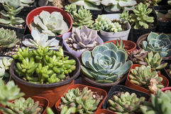 Succulent plants Royalty Free Stock Photography