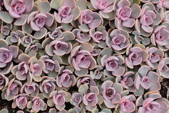 Succulent plants Royalty Free Stock Images