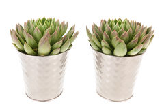 Succulent plants in pot Stock Photo
