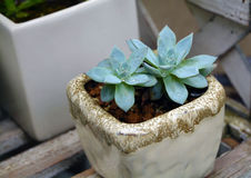 Succulent plants pot. Succulent plants was in the pot in a rainy days Royalty Free Stock Photo