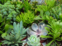 Succulent plants. Potted succulent or fat plants Royalty Free Stock Images