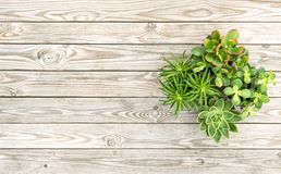 Succulent plants Minimal floral flat lay. Succulent plants on rustic wooden background. Minimal floral flat lay Royalty Free Stock Photo