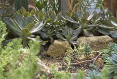 Succulent plants. Some succulent plants in stony ambiance Stock Photography