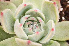 Succulent plants: stone lotus Stock Photography