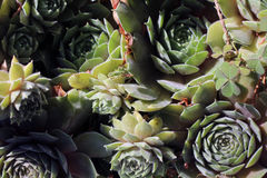 Succulent plants Royalty Free Stock Image