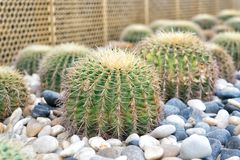 Succulent plants with thorny spines. Cacti grow on pebble background. Desert, park, garden. Decor landscape, design Royalty Free Stock Photography